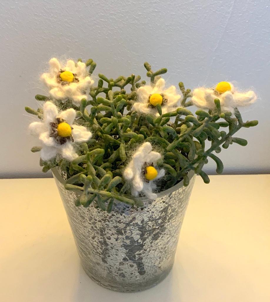 Edelweiss en pot !